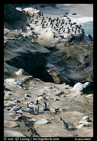 Pelicans and cormorants, the Cove. La Jolla, San Diego, California, USA (color)