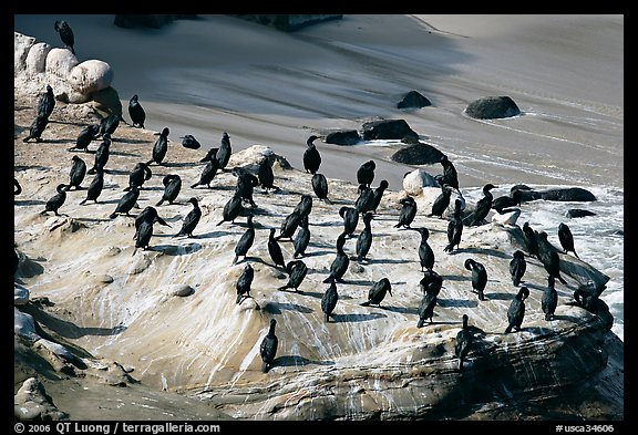Cormorants, the Cove. La Jolla, San Diego, California, USA (color)