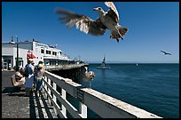 Seagull landing, Wharf. Santa Cruz, California, USA (color)