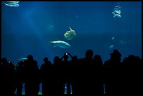 Watching the one-million-gallon open-ocean aquarium, Monterey Bay Aquarium. Monterey, California, USA (color)