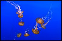 Sea Nettle Jellyfish at the Monterey Bay Aquarium. Monterey, California, USA ( color)