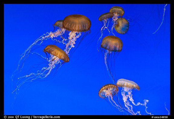 Graceful jellies, Monterey Bay Aquarium. Monterey, California, USA (color)