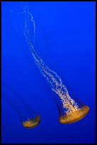 Two  Sea Nettle Jellies, Monterey Bay Aquarium. Monterey, California, USA (color)