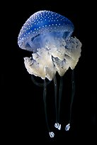 Blue jellyfish, Monterey Bay Aquarium. Monterey, California, USA (color)