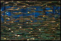 Swarm of Anchovies, Monterey Bay Aquarium. Monterey, California, USA (color)