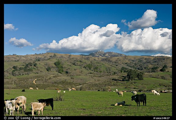 Cows in pasture below Mount Hamilton Range. San Jose, California, USA (color)