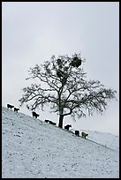Cows and oak tree on snow-covered slope, Mount Hamilton Range foothills. San Jose, California, USA (color)