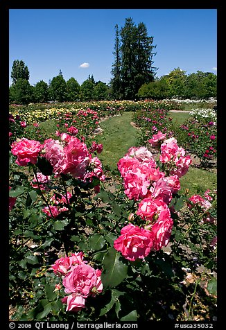 Roses, Municipal Rose Garden. San Jose, California, USA (color)