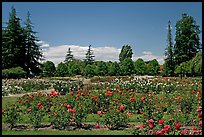 Roses and pine trees, Municipal Rose Garden. San Jose, California, USA