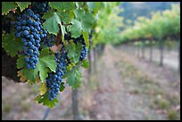 Grapes in vineyard, Gilroy. California, USA ( color)