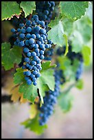 Grapes, Gilroy. California, USA ( color)