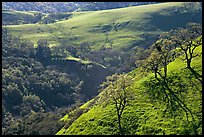 Bare oak  trees on hillside in early spring, Sunol Regional Park. California, USA