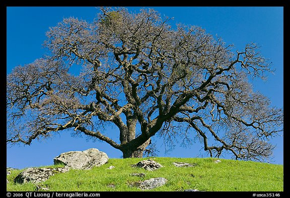 Bare oak tree and rocks on hilltop, Sunol Regional Park. California, USA (color)