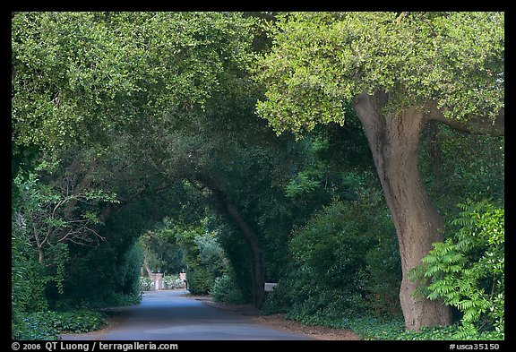Tunnel of trees on residential street. Menlo Park,  California, USA (color)
