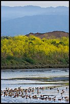 Birds on tidal flats and hills, Palo Alto Baylands. Palo Alto,  California, USA (color)