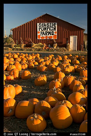 Pumpkins and red barn. California, USA (color)