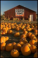Pumpkins and red barn. California, USA ( color)