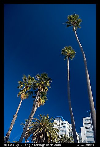 Palm trees and hotels. Santa Monica, Los Angeles, California, USA (color)