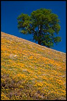 Hillside with California Poppies and oak tree. El Portal, California, USA (color)