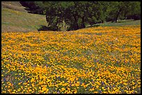 Slope with spring poppies. El Portal, California, USA (color)