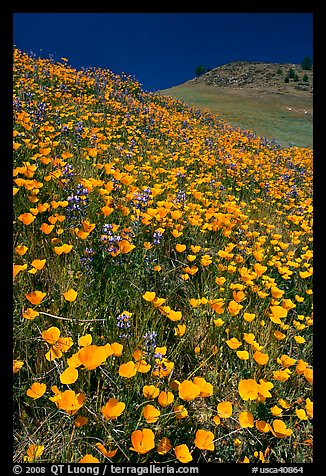 Hills covered with poppies and lupine. El Portal, California, USA (color)