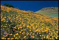 Sierra foothills covered with poppies and lupine. El Portal, California, USA (color)