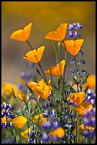 Close-up of California poppies and lupines. El Portal, California, USA (color)