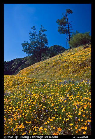Hills with carpets of flowers and trees. El Portal, California, USA (color)