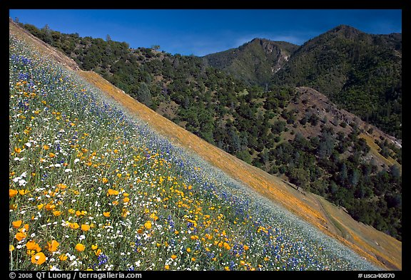 Poppies, popcorn flowers, and lupine on slope. El Portal, California, USA (color)