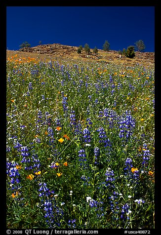 Lupine and hill. El Portal, California, USA (color)