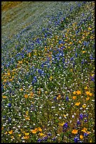 Multicolored spring flowers on slope. El Portal, California, USA (color)
