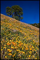 Carpet of poppies and oak tree. El Portal, California, USA (color)