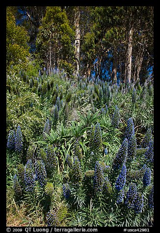 Pride of Madera flowers and eucalyptus trees, Golden Gate Park. San Francisco, California, USA