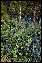 Pride of Madera flowers and eucalyptus trees, Golden Gate Park. San Francisco, California, USA ( color)