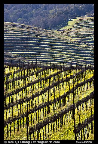 Hillside with rows of vines and yellow mustard flowers. Napa Valley, California, USA (color)