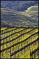 Hillside with rows of vines and yellow mustard flowers. Napa Valley, California, USA ( color)