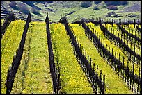 Yellow mustard flowers bloom in spring between rows of grape vines. Napa Valley, California, USA (color)