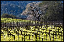 Vineyard and oak tree in spring. Napa Valley, California, USA ( color)