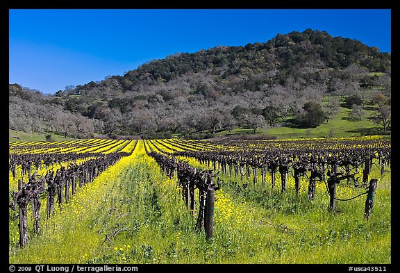 Vineyard and mustard flowers blooming in spring. Napa Valley, California, USA (color)