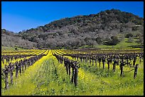 Vineyard and mustard flowers blooming in spring. Napa Valley, California, USA ( color)