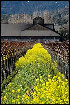 Spring mustard flowers and winery. Napa Valley, California, USA ( color)