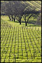 Rows of vines and trees in early spring. Napa Valley, California, USA (color)