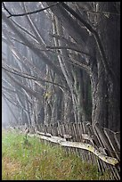 Trees in fog by weathered fence. California, USA (color)