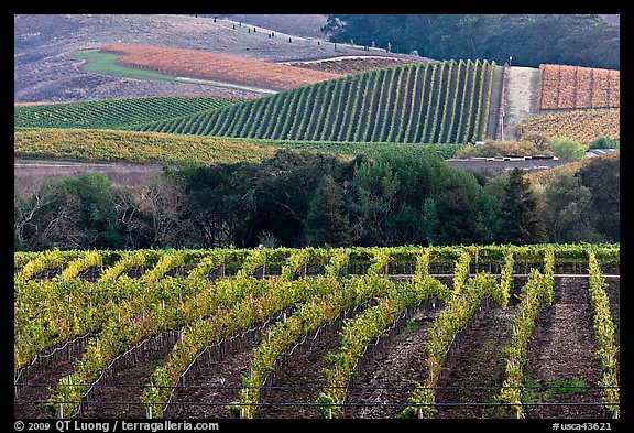 Vineyards in the fall. Napa Valley, California, USA (color)