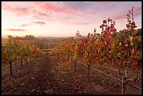 Autumn Sunset over vineyard. Napa Valley, California, USA ( color)