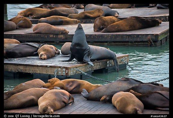 Picture Photo California Sea Lions Pier 39 Fishermans Wharf San Francisco California Usa