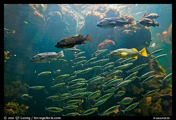 School of fish, Steinhart Aquarium,  California Academy of Sciences. San Francisco, California, USA (color)