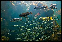 School of fish, Steinhart Aquarium,  California Academy of Sciences. San Francisco, California, USA<p>terragalleria.com is not affiliated with the California Academy of Sciences</p> (color)