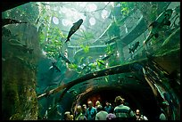 Tourists gaze upwards at flooded Amazon forest and huge catfish, California Academy of Sciences. San Francisco, California, USA<p>terragalleria.com is not affiliated with the California Academy of Sciences</p> (color)
