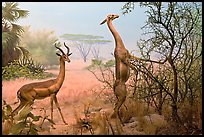 Gazelles diorama, Kimball Natural History Museum, California Academy of Sciences. San Francisco, California, USA<p>terragalleria.com is not affiliated with the California Academy of Sciences</p> (color)